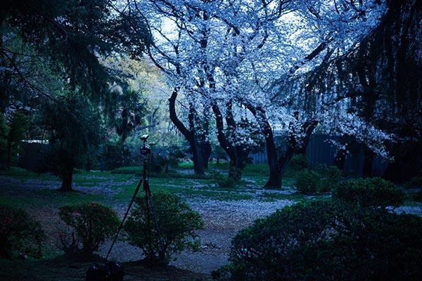 April6_sakura